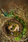 Ivy and empty nest Royalty Free Stock Images