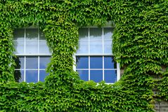 The Ivy facade Royalty Free Stock Image