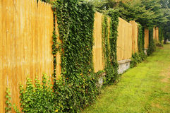 Ivy on a Fence. Green ivy plants on a wood fence Stock Photo
