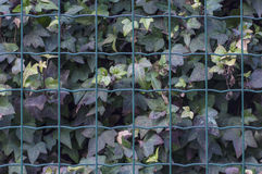 Ivy fence background Royalty Free Stock Image