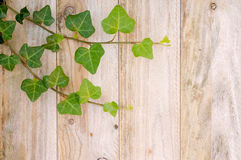 Ivy on Fence. Ivy leaves on an old fence vertical planks. copy space Royalty Free Stock Photos