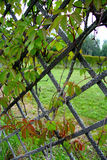 Ivy on the fence Stock Image