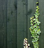 Ivy with fence Royalty Free Stock Images
