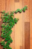 Ivy fixing climbing tree on brown wood. Stock Image