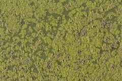 Ivy floating in a pond, detail of aquatic plants photo royalty free stock photography