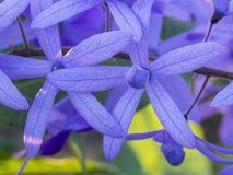 Ivy Flower Blooming roxa fotos de stock
