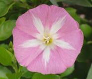 Ivy Flower selvagem original fotos de stock royalty free