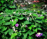 Ivy flower on tree canopy Royalty Free Stock Photography