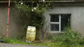 Ivy flowers and barrel in front of house