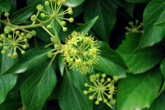Ivy Flowers Close-Up Fotografia Stock