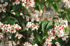 Ivy flowers. Royalty Free Stock Photography
