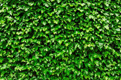 Ivy foliage natural background. Ivy foliage in park as background image Stock Images