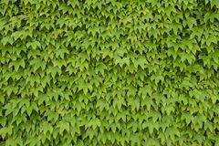 Ivy foliage Stock Photo