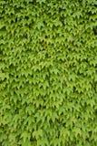 Ivy foliage Stock Image