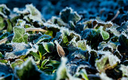 Ivy Frost Photographie stock