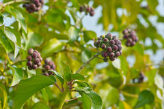 Ivy fruits. Hedera helix shrub with ripe fruits Royalty Free Stock Photos