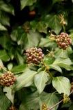 Ivy fruits Royalty Free Stock Image