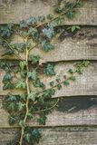 Green Ivy plant creeping across a garden fence. Ivy in a garden creeping across and damaging a fence panel Royalty Free Stock Photos