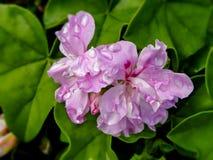 Ivy Geranium com pingos de chuva imagem de stock