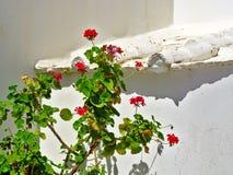Ivy geraniums Pelargonium peltatum royalty free stock photography