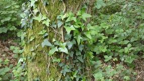 Ivy Gort The Olympian av buskar 2 arkivbild