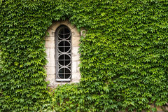 Ivy gothic window. Weedy wall of ancient church with small gothic window stock photography
