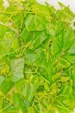 Ivy Gourd. Pick ivy Gourd make food ingredient royalty free stock photo