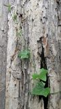 Ivy Gourd climb on rotted wall Stock Photography