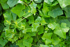 Ivy gourd Royalty Free Stock Photography