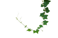 Ivy Gourd Coccinia grandis, creeper vine plant isolated on whi. Te background, clipping path included. Thai herb, local vegetable, medicinal plant with green Stock Photos
