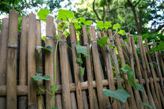 Ivy Gourd - Coccinia grandis L. Voigt on The old wooden Fence in the morning Stock Photo