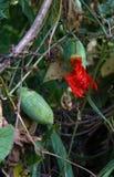 Ivy Gourd eller Cocciniagrandis på vinrankan Arkivfoto