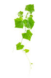 Ivy Gourd (grandis do Coccinia) fotos de stock