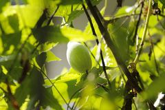 Ivy gourd green blurred background