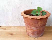 Ivy gourd growing in clay pot on wooden floor and old white cement wall background Stock Photo