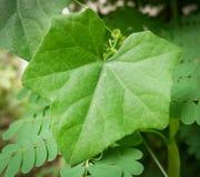 Ivy gourd leaf Stock Photo