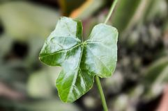 Ivy Gourd leaves Stock Photography
