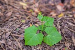 Ivy gourd seedlings vegetable Stock Photos