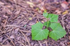 Ivy gourd seedlings vegetable Royalty Free Stock Photos