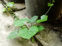 Ivy gourd tree Royalty Free Stock Image