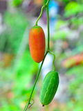Ivy Gourd. Vegetable gourd vegetables that grow along the fence in thailand Stock Image