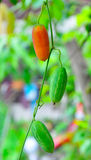 Ivy Gourd. Vegetable gourd vegetables that grow along the fence in thailand Royalty Free Stock Images