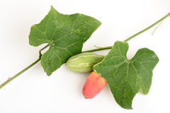 Ivy Gourd Stock Image