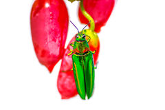 Ivy gourd vegetables and Metallic wood-boring beetle Royalty Free Stock Photos