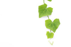 Ivy gourd on white background Royalty Free Stock Image