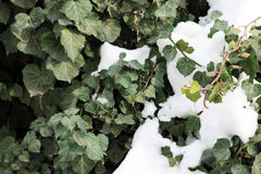 Ivy. Green ivy below the snow Royalty Free Stock Photography