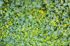 Ivy. Green growing ivy over wall Stock Images