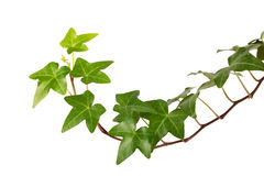 Ivy. Green ivy isolated on white background, studio shot Royalty Free Stock Photo