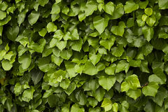 Ivy green leaves background Stock Photos