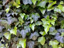Ivy. Green leaves bush on the wall Stock Photo